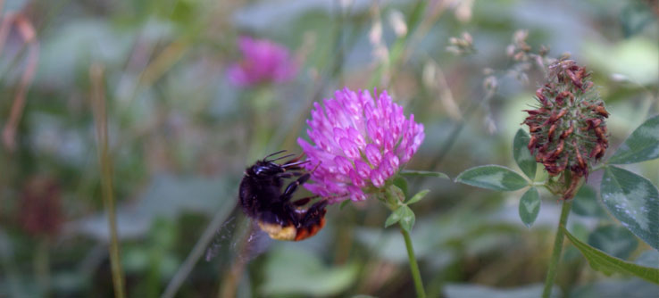 A bee perches on purple clover.